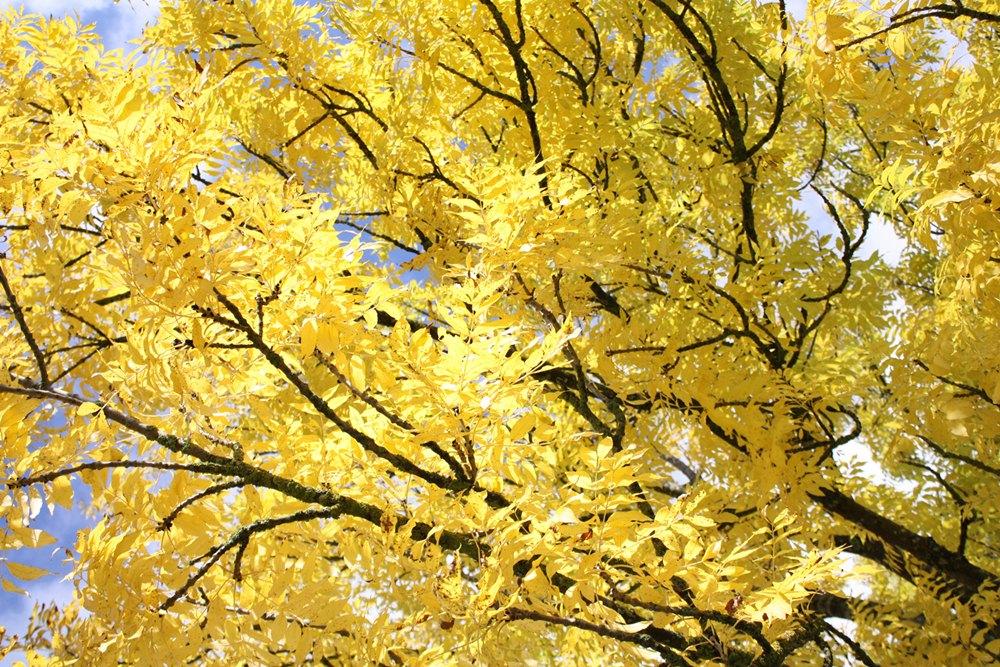 Herbstimpression gelb